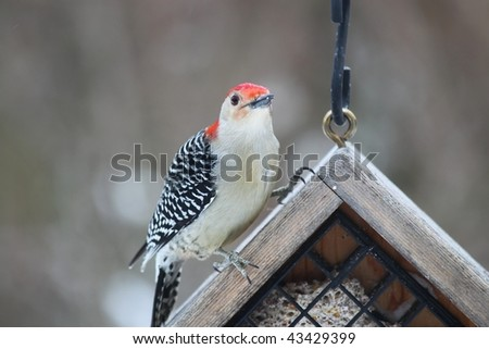 woodpecker with red head sitting on a suet feeder waiting to eat - stock photo