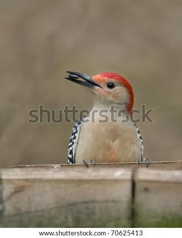 Woodpecker with sunflower seed in it's beak - stock photo