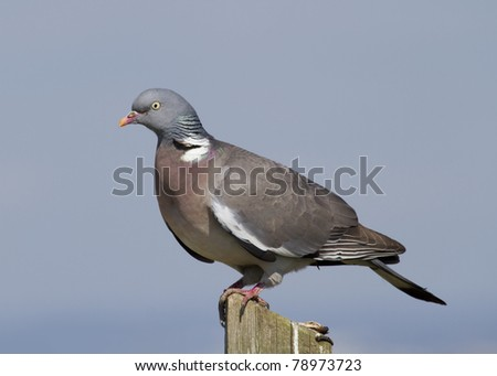 Woodpigeon ( Columba oenas ) Perched on a fence post - stock photo