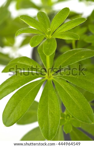 Woodruff herbs in detail on bright background - stock photo