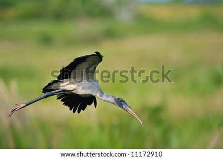 woodstork landing in everglades marsh with copy space - stock photo
