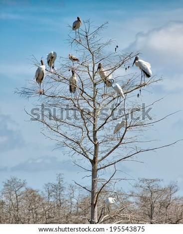Woodstorks (Mycteria americana) percing in a tree in Big Cypress National Preserve - stock photo