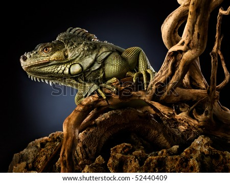 Woody Dragon. Portrait of green iguana on twisted tree branch, black background. - stock photo