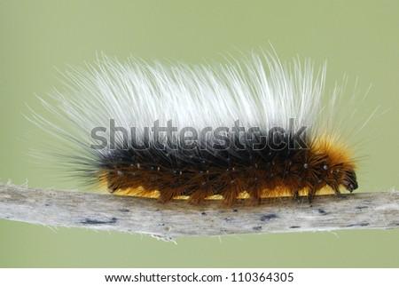 Woolly Bear Caterpillar (Garden Tiger Moth, Arctia caja) - stock photo