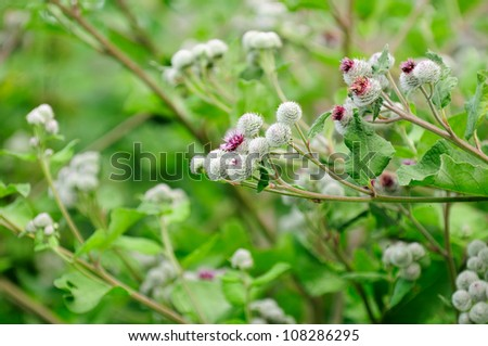 Woolly Burdock (Arctium Tomentosum) with Inflorescences - stock photo