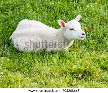 Woolly lamb lies in the grass and stares into space - stock photo