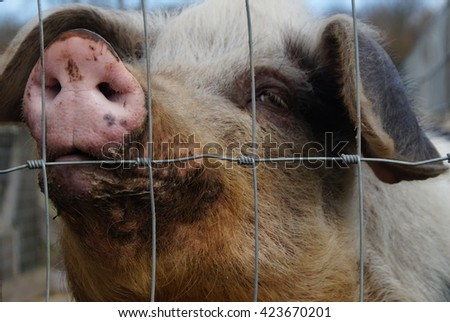 Woolly Pig Head Behind Fence