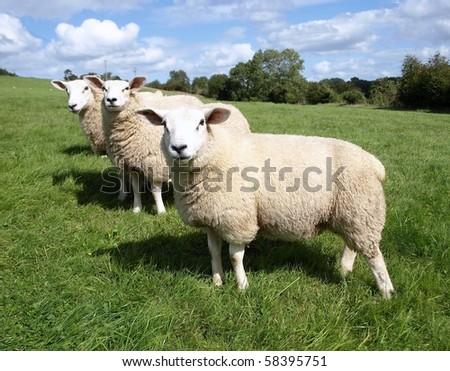 Woolly Sheep - stock photo