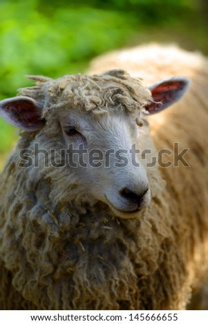 woolly sheep in a rural farm - stock photo