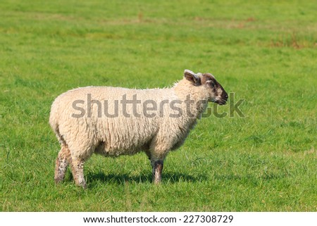 Woolly sheep standing in the green meadow - stock photo