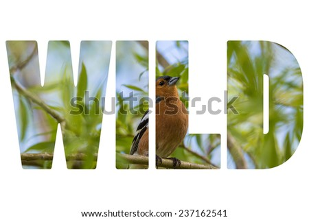 Word WILD over Chaffinch on a forest perch in New Zealand.  - stock photo