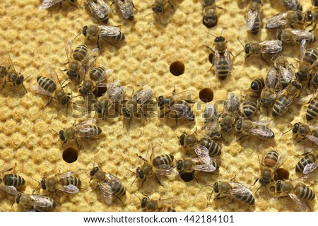 Work bees in hive Bees convert nectar into honey and close it in the honeycomb - stock photo