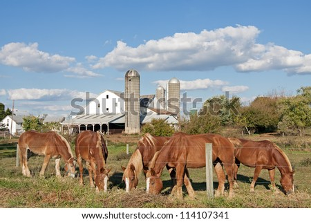 Work horses feeding on an Amish farm in Lancaster County,Pennsylvania,USA. - stock photo