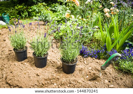 Work in garden-lavender ready for planting - stock photo