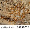 Worker and nasute termites on decomposing wood - stock photo