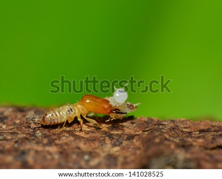 Worker and nasute termites on on Green background. - stock photo