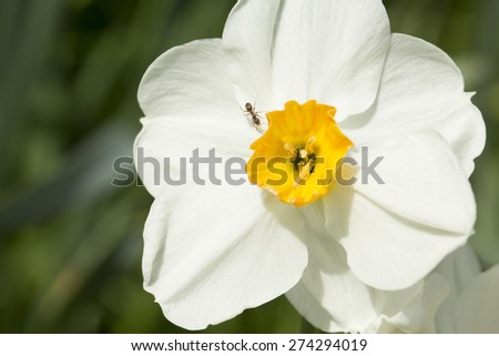 Worker ant crawling around the petals of a white daffodil - stock photo