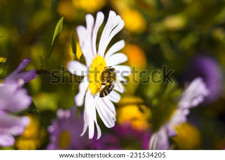 Worker bee at a flower collecting nectar - stock photo