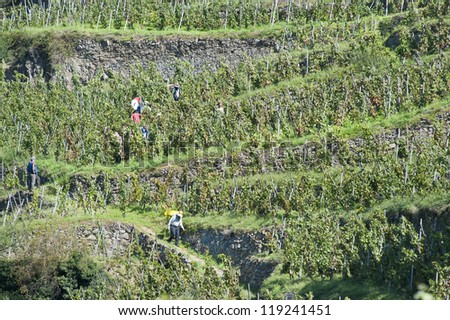Worker Carries Grapes Down the Mountain - stock photo