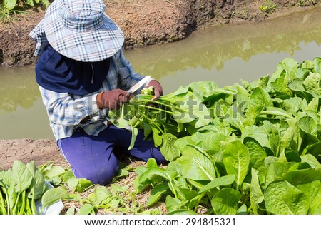 Worker cutting green plant or vegetable in garden by small knife, make product for send to market.