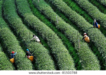 worker harvesting tea in plantation - stock photo