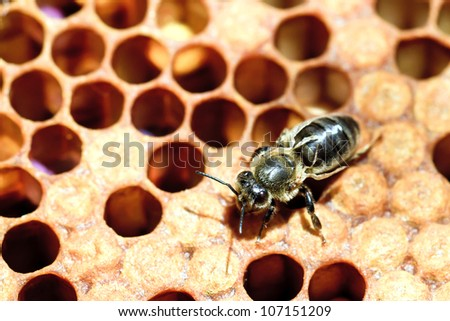Worker honey Bee (Apis mellifera) with deformed wings caused by the Deformed Wing Virus (DWV) transmitted by the varroa mite (Varroa destructor) causing