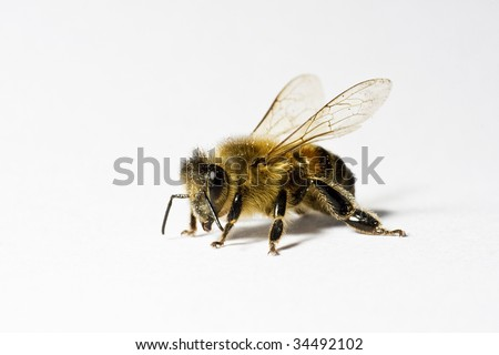 Worker honey bee (apis) with pollen, isolated on white background, macro
