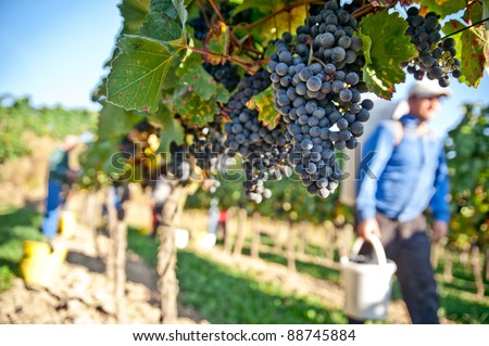 Worker in a vineyard in Wachau, Lower Austria - stock photo