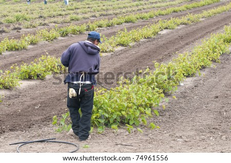 Worker installs irrigation tubing in a California vineyard in spring