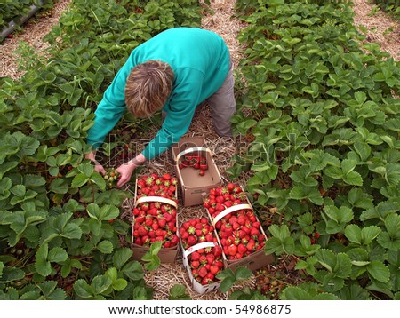 worker picking strawberries - stock photo