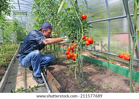 Worker processing the tomatoes bushes in the greenhouse of polycarbonate - stock photo