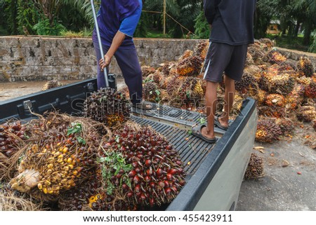 Worker throw oil palm fruit branch out of the truck  ,Surat Thani,south of Thailand,