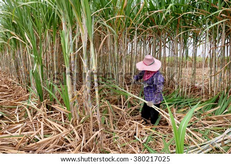 Workers are cutting sugar cane. - stock photo