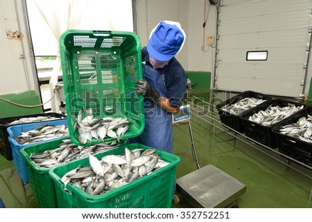 workers are sorting mackerel fish in baskets - stock photo