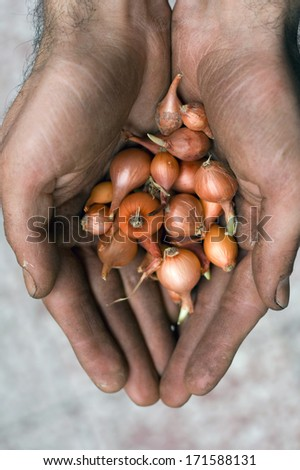 workers hand holding small red onions - stock photo