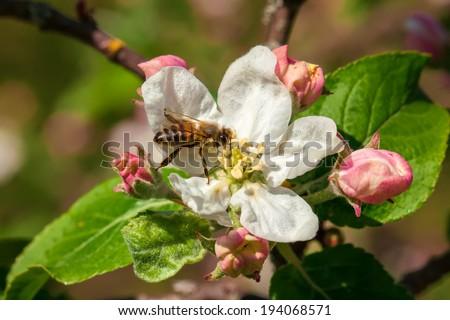 Working Bee - stock photo