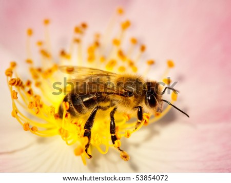 Working bee collecting pollen from a briar pink flower - stock photo