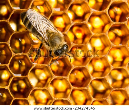 Working bee on honeycomb with sweet honey - stock photo