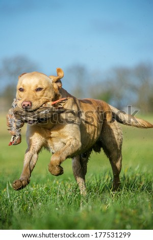 Working Dog - stock photo