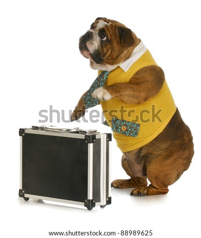 working dog - english bulldog wearing shirt and tie standing beside briefcase with reflection on white background - stock photo
