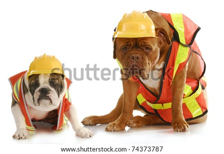 working dogs - english bulldog and dogue de bordeaux dressed like very tire construction workers on white background - stock photo
