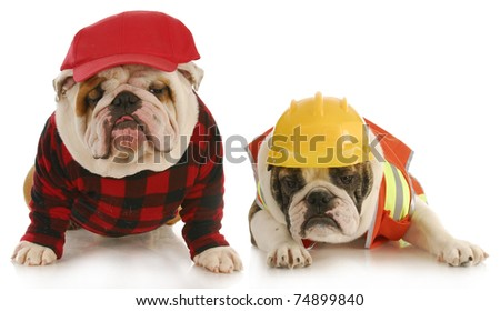 working dogs - two english bulldogs dressed up for work on white background - stock photo