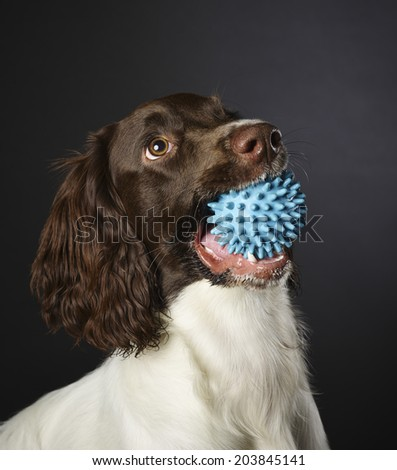 Working english springer spaniel puppy, six month old, studio shot - stock photo