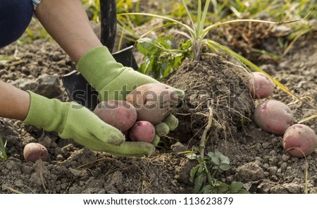 Working hands  holding fresh red potatoes from ground with shovel in background