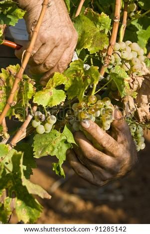 Working hands in the vineyard - stock photo