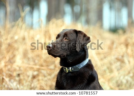 Working Labrador in the Forest - stock photo