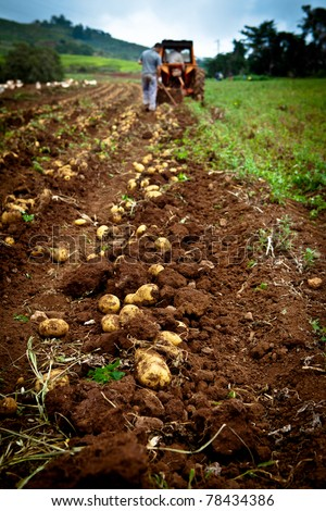 working on a potato field with a old tractor - stock photo