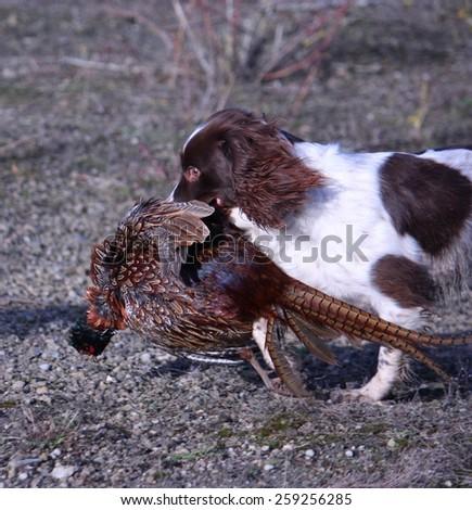 Working type english springer spaniel pet gundog retrieving a pheasant while on a shoot - stock photo