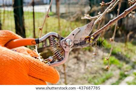 Working with cutting bush clippers in spring, pruning branch with secateurs. Early spring works.tree branch.