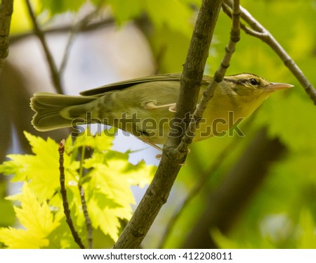 Worm-eating Warbler (Helmitheros vermivorum) perched on a branch - stock photo
